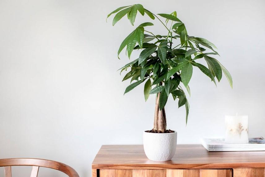درختچه های آپارتمانی