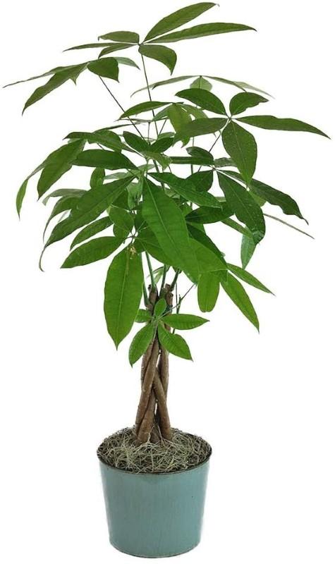 درختچه آپارتمانی پاچیرا یا درخت پول