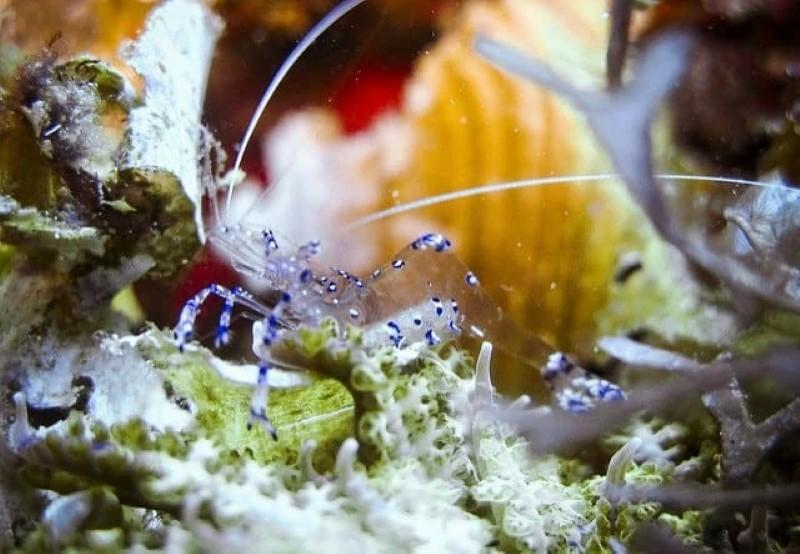 انواع میگو جلبک خوار تمیز کننده آکواریوم